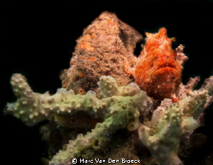 red frogfish by Marc Van Den Broeck 